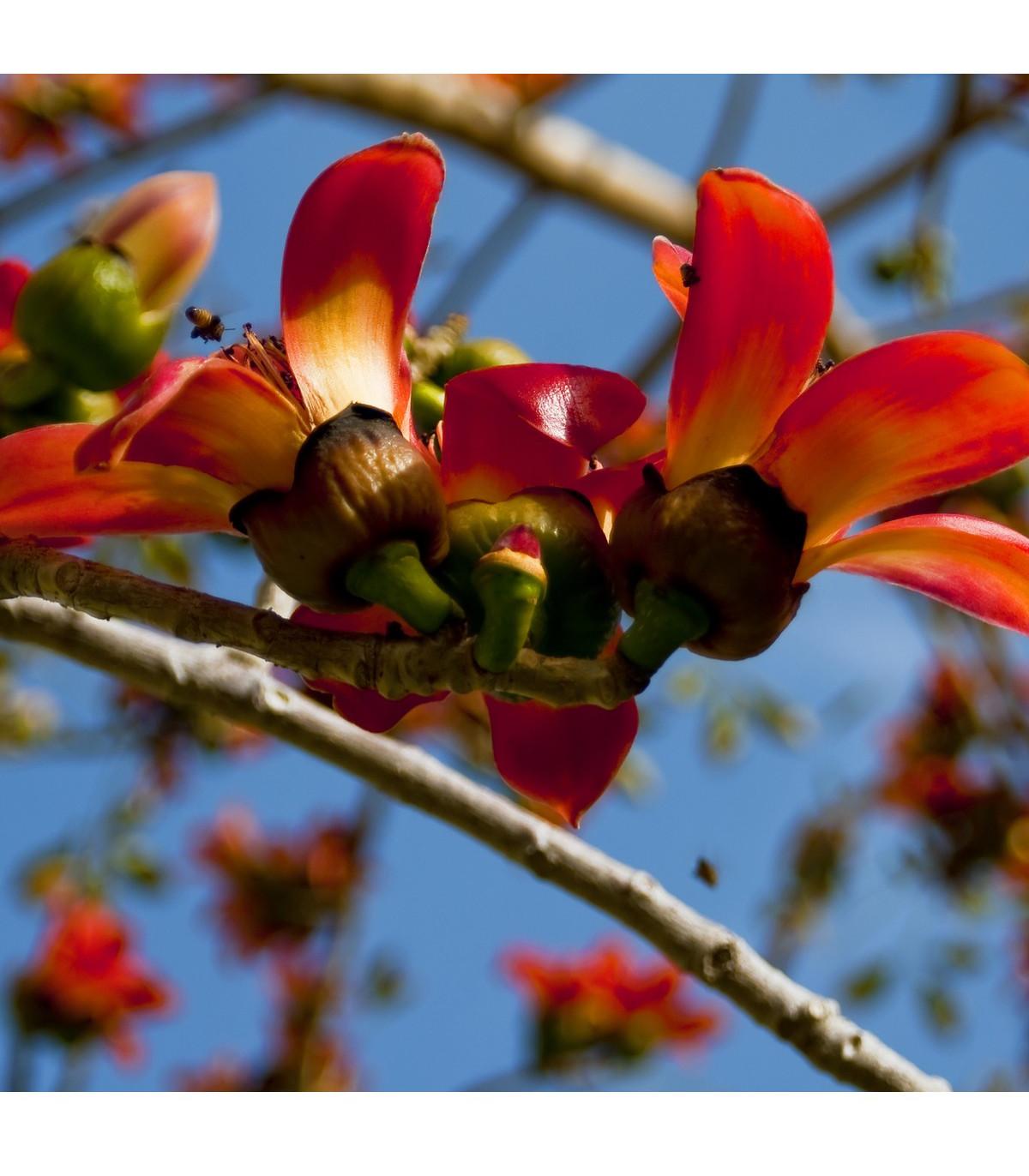 Bavlník červený - Bombax ceiba - semená bavlníka - 6 ks