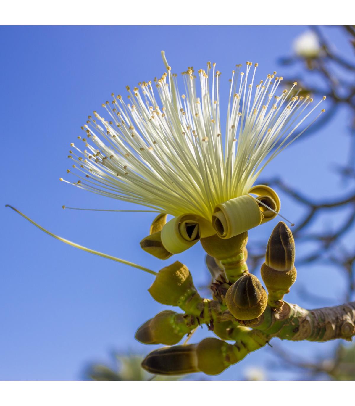 Pasmrekovec - Pseudobombax millei - exotické stromy - semená - 6 ks