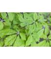 Sibírsky ženšen - predaj semien - Eleutherococcus senticosus - 10 ks