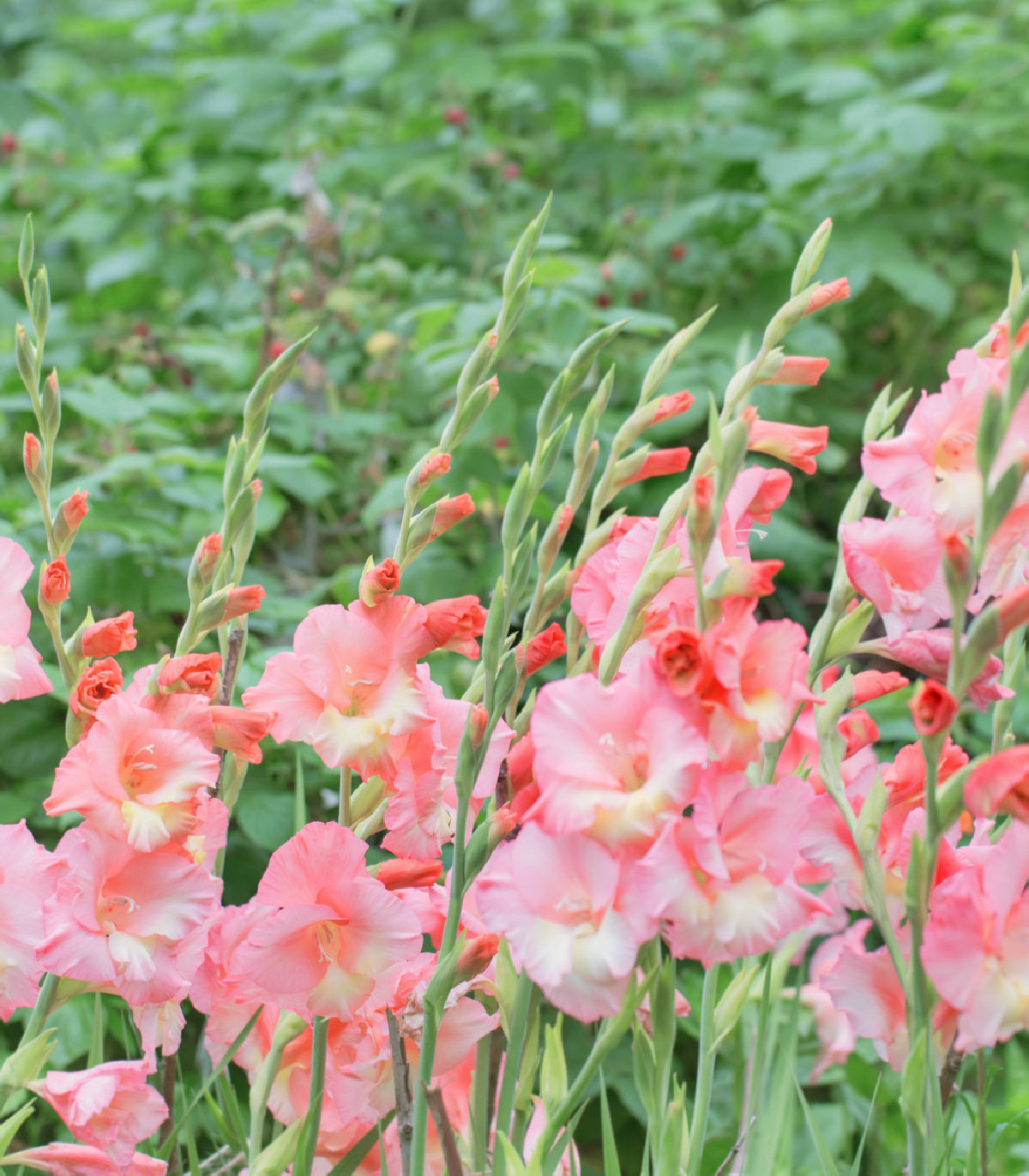 Mečík ružový Wine and Roses - Gladiolus - gladioly - cibuľoviny - 3 ks