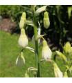 Galtónia belostná - Galtonia candicans - predaj holadnských cibuľovín