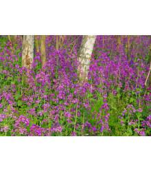 Mesačnica ročná fialová Honesty - Lunaria annua - semená - 50 ks