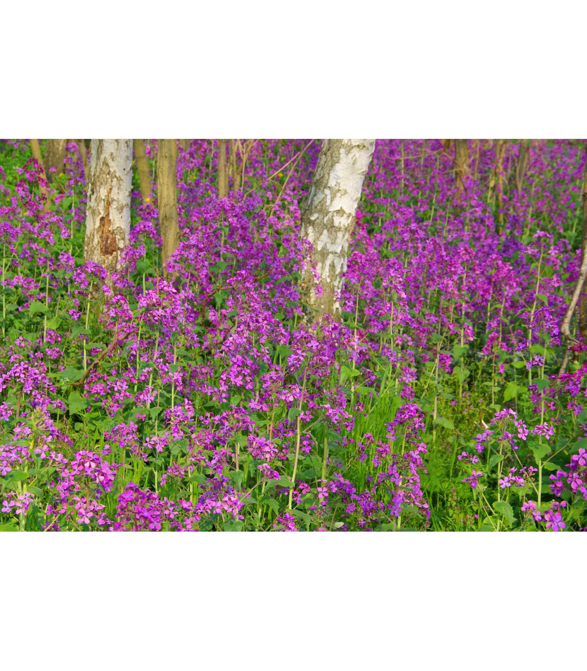 Mesačnica ročná fialová Honesty - Lunaria annua - predaj semien - 50 ks