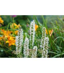 Liatra klasnatá Floristan White - Liatris spicata - semená liatry - 20 ks