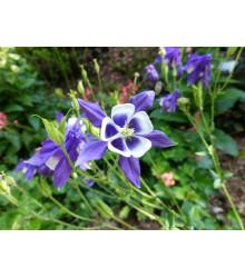Orlíček obyčajný Blue Star - Aquilegia vulgaris - semená - 30 ks