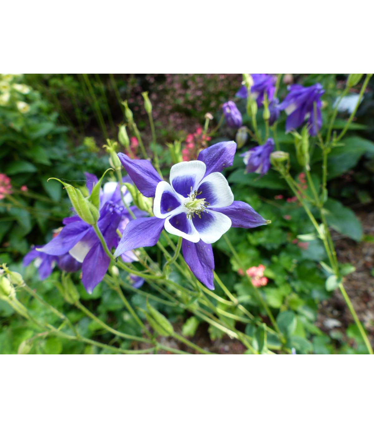 Orlíček obyčajný Blue Star - modrý - Aquilegia vulgaris - semená trvaliek - 30 Ks