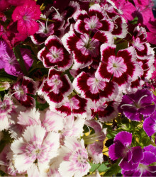 Klinček bradatý plnokvetý - zmes farieb - Dianthus barbatus - semená - 300 ks