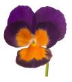 Sirôtka Jolly Joker F2 - Viola wittrockiana - semená - 20 ks