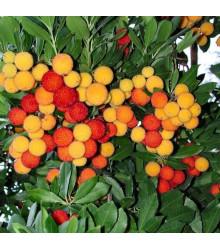 Jahodovec obyčajný - Planika obyčajná - Arbutus unedo - semená jahodovca - 5 ks