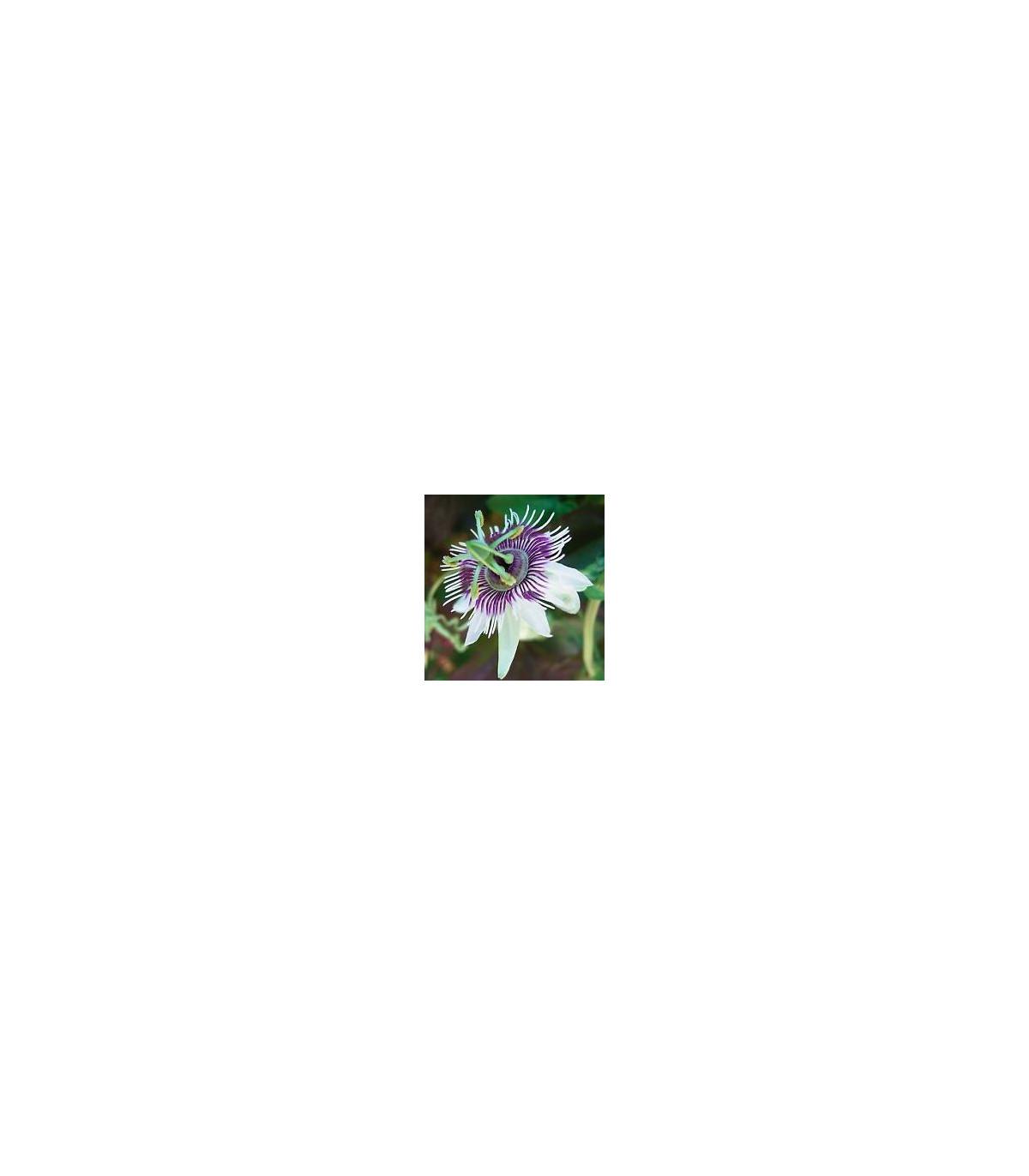 Mučenka morušolistá - Passiflora morifolia - predaj semien mučenky - 4 ks