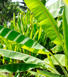 Banánovník Cheesmanii - Musa cheesmanii - semená banánovníka - semiačka - 3 ks