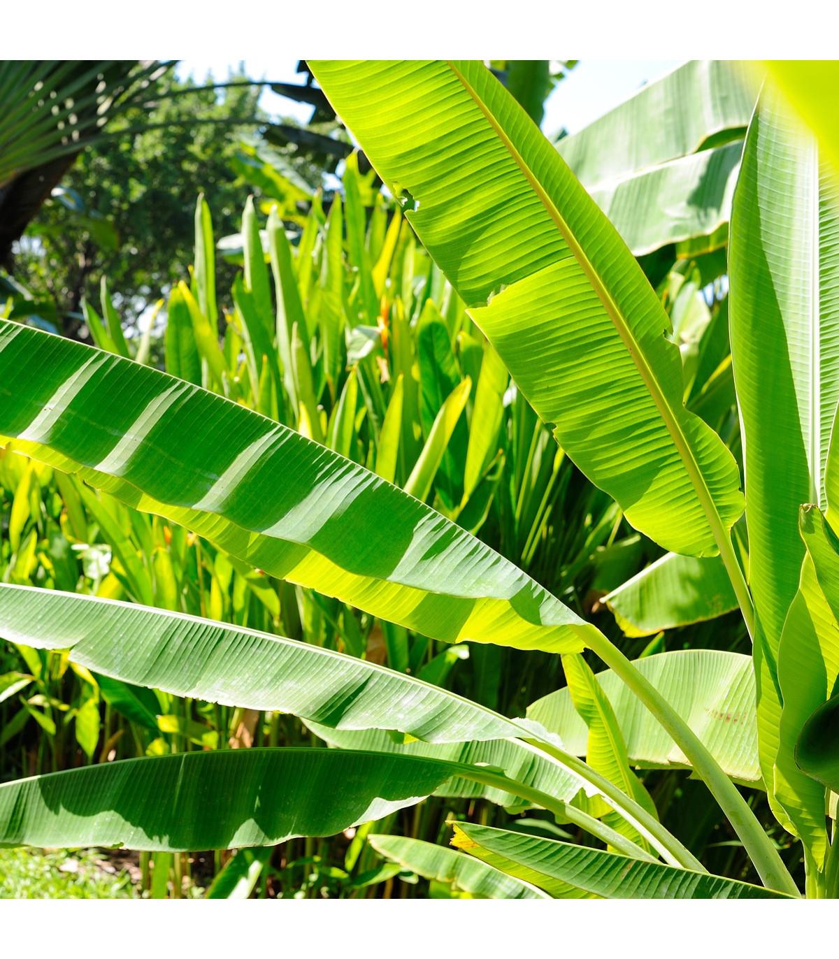 Banánovník Cheesmanii - Musa cheesmanii - semená banánovníka - 3 ks