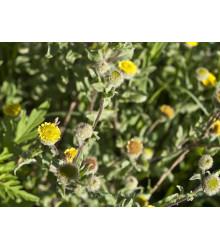Blšník obyčajný - Pulicaria vulgaris - predaj semien - 50 ks