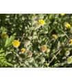 Blšník obyčajný - Pulicaria vulgaris - semená - 50 ks