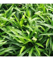 Palmová tráva - Setaria palmifolia - predaj semien - 10 Ks