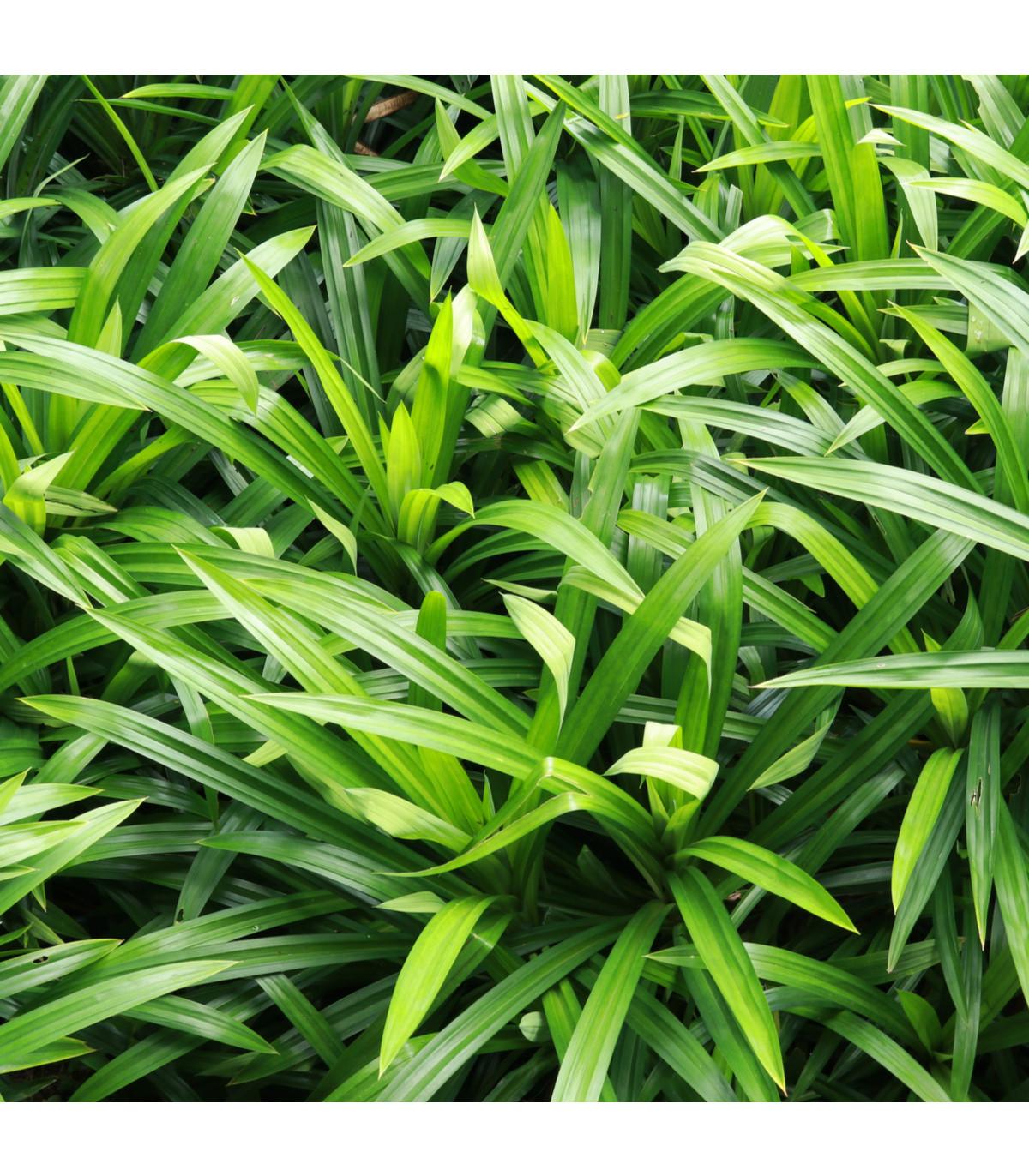 Palmová tráva - Setaria palmifolia - semená palmovej trávy - 10 ks