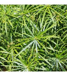Šachor striedavolistý - Cyperus alternifolius - predaj semien papyrusu - 0,05 g