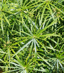 Šachor striedavolistý - Cyperus alternifolius - semená papyrusu - 0,05 g