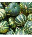 Byvolia tekvica - Cucurbita foetidissima - predaj semien - 3 ks