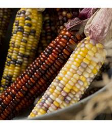 Kukurica Amero okrasná - Zea mays - predaj semien kukurice - 15 Ks