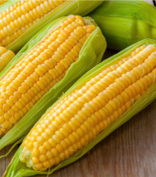 Kukurica Andrea F1 - Zea mays - predaj semien kukurice - 16 Ks