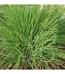 Pažítka Polyvert - Allium schoenoprasum L.- semená pažítky - 0,4 g