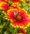 Kokarda osinatá veľkokvetá zmes - Gaillardia aristata - semená - 0,3 g