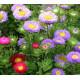 Astra čínská - Serenade zmes farieb - Callistephus chinensis - semená - 110 ks