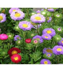 Astra čínská Serenade zmes farieb - Callistephus chinensis - semená - 110 ks