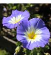Pupenec trojfarebný Royal Ensign - predaj semien - Convolvulus tricolor - 0,7 gr
