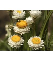 Piesočník krídlatý - Ammobium alatum grandiflorum - slamienka - semená - 100 ks