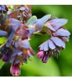 Voskovka väčšia Hoya - Cerinthe major purpurescens - 5 Ks