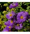 Astra kopcová - Aster amellus - semená - 70 ks