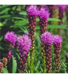 Liatra klasnatá fialová Floristan Violet - trvalka Liatris spicata - semená liatry - 20 Ks