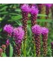 Liatra klasnatá Floristan Violet - Liatris spicata - semená - 20 ks