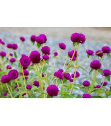 Gomfréna hlávkatá fialová - Gomphrena globosa - semená - 25 ks