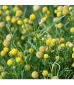 Jahodová tráva - Cephalophora aromatica - semená - 10 ks
