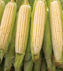 Kukurica cukrová Tasty Sweet F1 - Zea Mays - semená kukurice - 16 ks