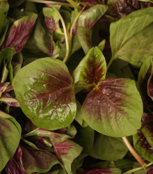 Láskavec trojfarebný, červený - Amaranth červený - Amaranthus tricolor - 270 ks