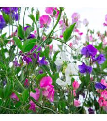 Hrachor voňavý Spencer - zmes - Lathyrus odoratus - semená - 16 ks