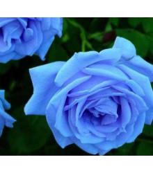 Ruža popínavá svetlo modrá - Rosa - predaj semien ruží - semená - 5 ks