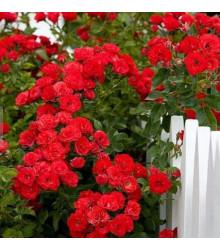 Ruža popínavá červená - Rosa - predaj semien ruží - semená - 5 ks