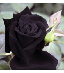 Ruža čierna - Maroon - predaj semien ruží - semená - 5 ks