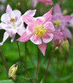 Orlíček Mc Kana zmes farieb - Aquilegia caerulea - semená trvaliek - 0,3 g
