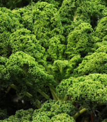 Kel kučeravý Lerchenzungen - Brassica oleracea L. - semená - 150 ks