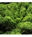 Kel Lerchenzungen - Brassica oleracea L. - semena kelu - 0,5 gr