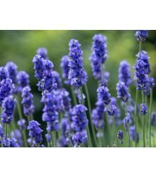 Levanduľa lekárska Provence Blue - Lavandula angustifolia - semená - 15 ks