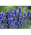 Levanduľa lekárska Provence Blue - Lavandula angustifolia - semená levandule- 15 Ks
