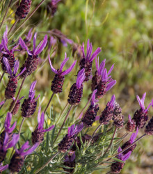 Levanduľa francúzska - Lavandula stoechas - semená - 0,02 g