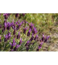 Levanduľa francúzska - Lavandula stoechas - semená - 20 ks